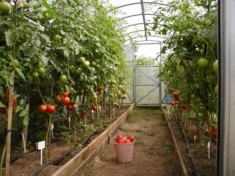 Фото пошаговое как закрепить томаты в теплице чтобы не падали